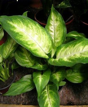 Plantas de interior la Difenbaquia2