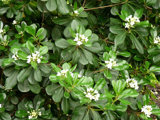 Arbustos perennes el azarero - Plantas y arbustos de exterior ...