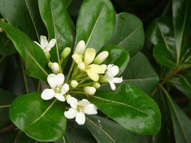 Arbustos perennes el azarero for Arboles de hoja perenne y crecimiento rapido para jardin