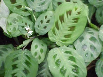 Plantas de interior la Maranta2