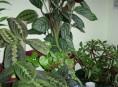 imagen Plantas de interior: la Maranta
