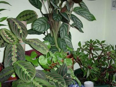Plantas de interior la maranta - Plantas de interior fotos ...