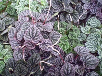 Plantas de Interior Peperomia1