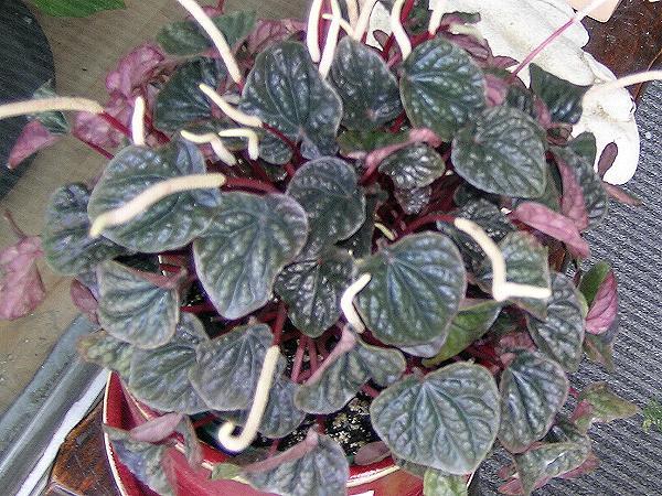 Plantas de Interior Peperomia4