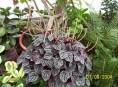 imagen Plantas de Interior: Peperomia