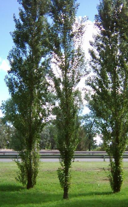Arboles el Alamo Piramidal populus nigra cv. italica1