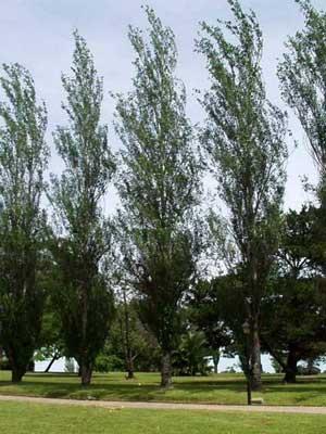 Arboles el Alamo Piramidal populus nigra cv. italica2