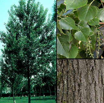 Arboles el Alamo Piramidal populus nigra cv. italica3