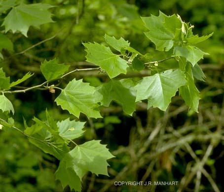 El Plántano, un árbol muy resistente1