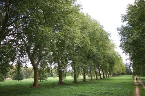 El Plántano, un árbol muy resistente2
