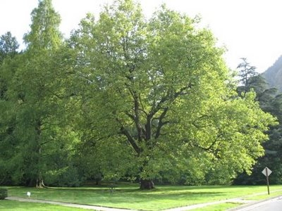El Plántano, un árbol muy resistente3