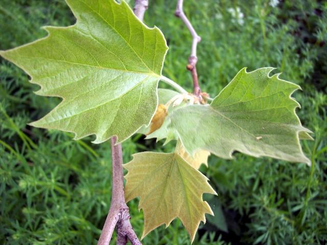 El Plántano, un árbol muy resistente4