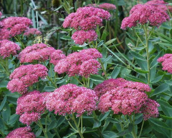 El Sedum, una hermosa planta1