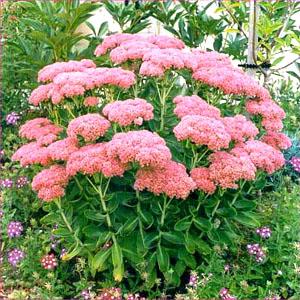 El Sedum, una hermosa planta2