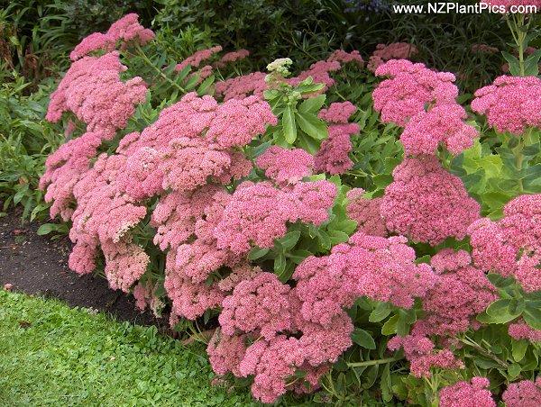 El Sedum, una hermosa planta3