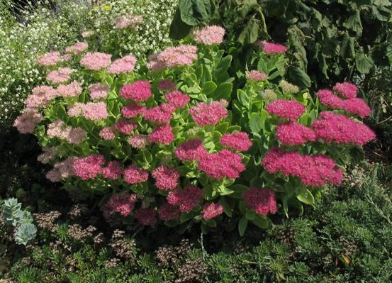 El Sedum, una hermosa planta4