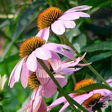 La echinacea purpurea2