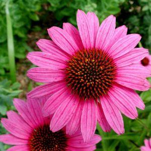 La echinacea purpurea3