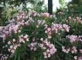 imagen Arbustos: el Laurel de Flor