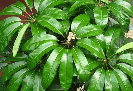 schefflera-actinophylla1