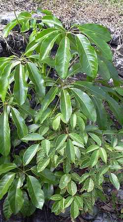 schefflera-actinophylla2