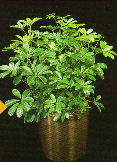 schefflera-actinophylla3