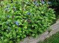 imagen Arbustos: la Ceratostigma