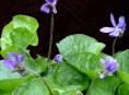 imagen Cubresuelos: la Violeta