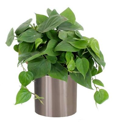 philodendron scardens 1