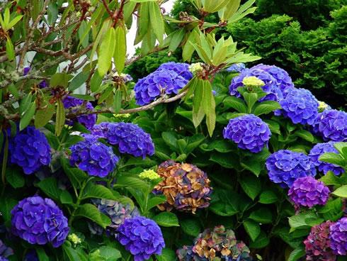 Arbustos - la Hortensia