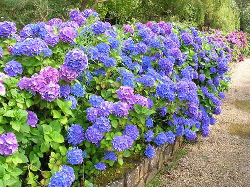 arbustos la hortensia