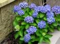 imagen Arbustos: la Hortensia