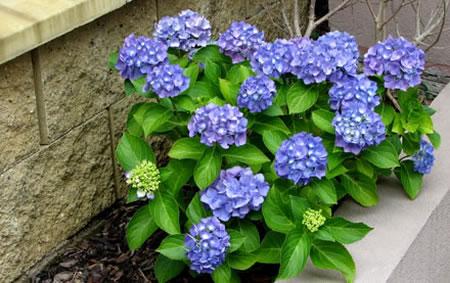 Arbustos la hortensia for Planta arbustos para jardineras