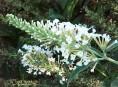 imagen Budleia: otras especies y variedades