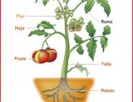 imagen Las partes de la planta para ver con pequeños