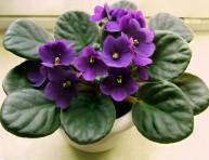 imagen Plantas de Interior: la Violeta Africana