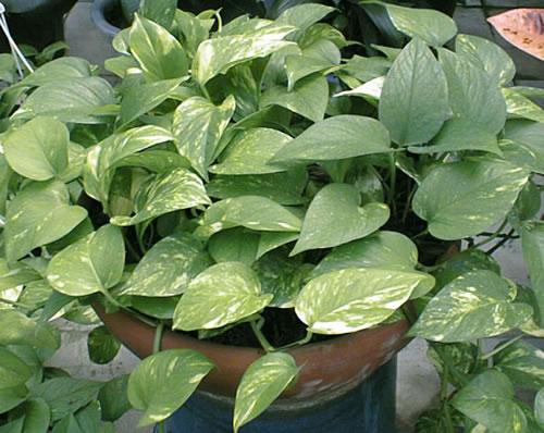 Plantas De Interior El Potus