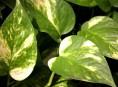 imagen Plantas de Interior: el Potus