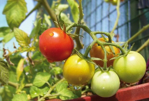 Cultiva tomates cherry - Tomates cherry en maceta ...