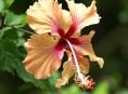 imagen Cayena, una flor tradicional