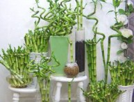 imagen Cultivo de bambú para interiores