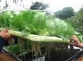 imagen La importancia de cultivos hidropónicos