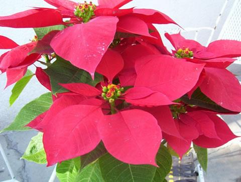 Navidad y flor de pascua - Cuidados planta navidad ...