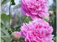 imagen ¿Como cuidar flores perennes?