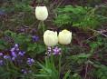 imagen Tulipa Gesneriana