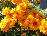 imagen Esplendorosa floración de crisantemos