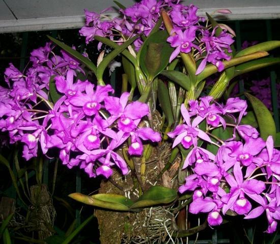 Esta especie de orquídea descubierta en Guatemala por un botánico ingles, la cual actualmente en otros países es tomada como símbolo nacional,