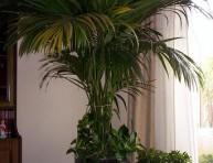 imagen Plantas de interior: cuidado y cultivo de palmeras