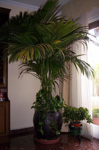 cuidado y cultivo de palmeras