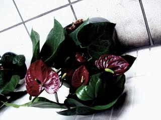 Anturio flor de exquisita belleza for Anturio cuidados